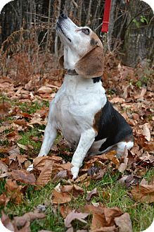 Beagle Dog for adoption in Newport, Vermont - Amy