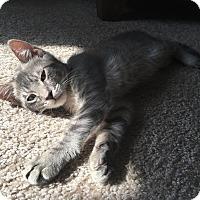 Adopt A Pet :: Major - Los Angeles, CA