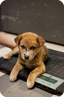 Catahoula Leopard Dog/Australian Shepherd Mix Puppy for adoption in Englewood, Colorado - Penny
