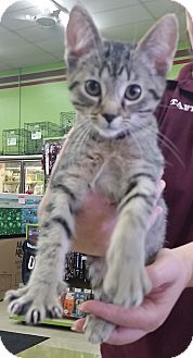 Domestic Shorthair Kitten for adoption in Oak Lawn, Illinois - Iggy