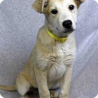 Adopt A Pet :: Dodger - Westminster, CO