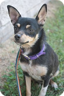 Chihuahua/Miniature Pinscher Mix Dog for adoption in Stilwell, Oklahoma - Jewels