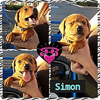 Adopt A Pet :: Simon - Fowler, CA
