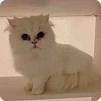Adopt A Pet :: Princess Laya - Arlington, VA