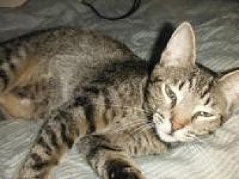 Domestic Shorthair Kitten for adoption in Old Bridge, New Jersey - Boots