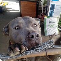 Adopt A Pet :: Zoey - West Hills, CA