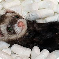 Adopt A Pet :: Peekaboo - Indianapolis, IN