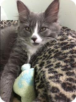 Domestic Mediumhair Kitten for adoption in Medina, Ohio - Kluber