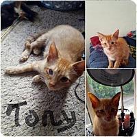 Domestic Shorthair Kitten for adoption in Toledo, Ohio - Tony