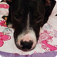 Boxer/American Staffordshire Terrier Mix Dog for adoption in Spring, Texas - Chloe