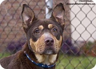 German Shepherd Dog Mix Dog for adoption in Brooklyn, New York - Big Brown