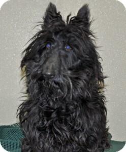 Scottie, Scottish Terrier Dog for adoption in Port Washington, New York - Duke