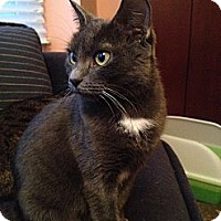 Adopt A Pet :: Cindy-Lap Cat - East Hanover, NJ