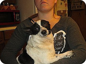 Corgi/Rat Terrier Mix Dog for adoption in Rochester, New York - Oliver
