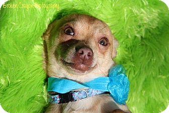 Chihuahua Dog for adoption in Cameron, North Carolina - Romeo