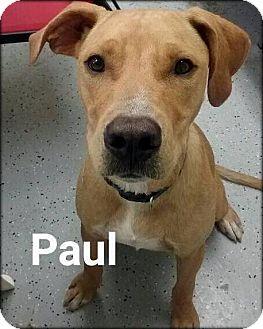 Labrador Retriever Mix Dog for adoption in Ottumwa, Iowa - Paul