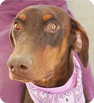 Doberman Pinscher Dog for adoption in Littlerock, California - Missy