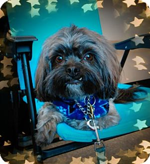 Shih Tzu Mix Dog for adoption in Euless, Texas - Ron Howard