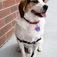Beagle/Akita Mix Dog for adoption in Franklin, Indiana - Flint