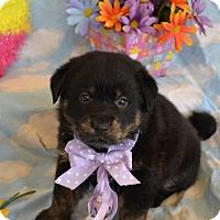 Adopt A Pet :: Aurora (The Tar Heel Group) - Alexandria, VA