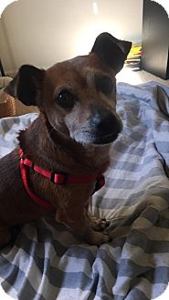 Chihuahua/Jack Russell Terrier Mix Dog for adoption in Media, Pennsylvania - Alfie