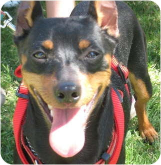 Miniature Pinscher Dog for adoption in Sun Valley, California - Rocky