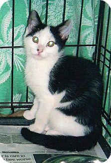 Domestic Shorthair Cat for adoption in Chesapeake, Virginia - Paco