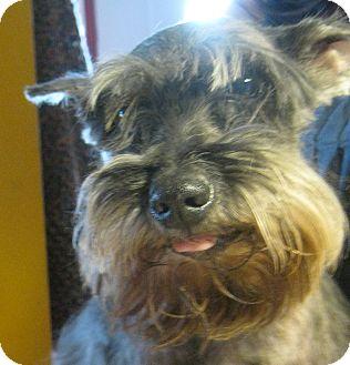 Miniature Schnauzer Dog for adoption in Prole, Iowa - Pepper