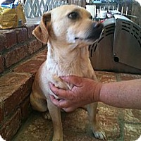Chihuahua/Terrier (Unknown Type, Small) Mix Dog for adoption in San Ramon, California - Buster