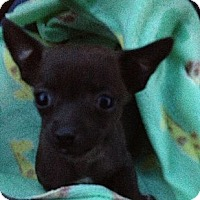 Adopt A Pet :: Kahlua the chi pup - Poulsob, WA