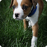Adopt A Pet :: Cosmos - Broomfield, CO