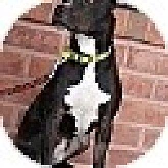 Photo 2 - American Pit Bull Terrier Mix Dog for adoption in St. Charles, Missouri - Radar