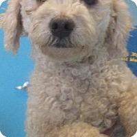 Adopt A Pet :: Artemis - McAllen, TX