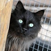 Domestic Longhair Cat for adoption in Alamogordo, New Mexico - SIR GALLAHAD