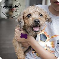 Adopt A Pet :: Chocolate Kit Kat - Houston, TX