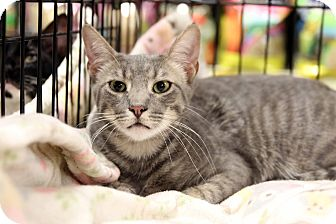 Domestic Shorthair Cat for adoption in Gainesville, Virginia - Zorro