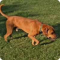 Labrador Retriever/Boxer Mix Dog for adoption in Brattleboro, Vermont - Lewis