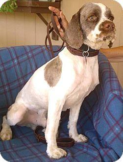 Cockapoo Mix Dog for adoption in Santa Barbara, California - Otis