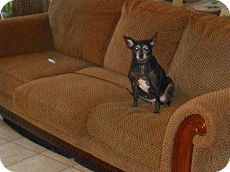 Miniature Pinscher Mix Dog for adoption in Wyanet, Illinois - Momma