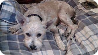 Schnauzer (Miniature)/Poodle (Miniature) Mix Dog for adoption in Benton, Pennsylvania - Elsa