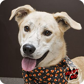 Labrador Retriever Mix Dog for adoption in Troy, Ohio - Chase- URGENT