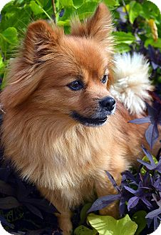 Pomeranian Dog for adoption in Bridgeton, Missouri - Chauncey