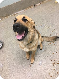 German Shepherd Dog Mix Dog for adoption in Columbus, Georgia - Shelly 8274