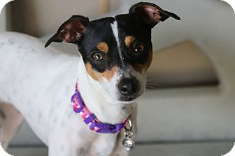 Rat Terrier Mix Dog for adoption in Rockwall, Texas - Charlie