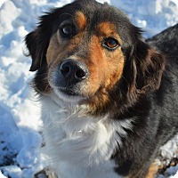 Brittany/Border Collie Mix Dog for adoption in Grinnell, Iowa - Molly