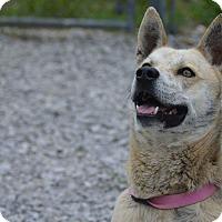 Adopt A Pet :: DINGO - Rockwood, TN