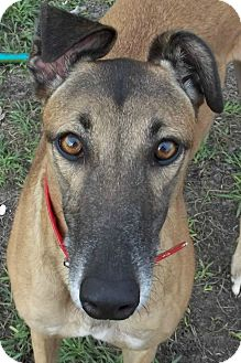 Greyhound Dog for adoption in Longwood, Florida - Boc's Fortitude