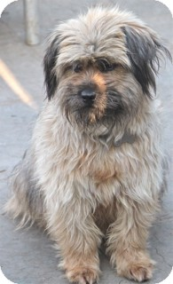 Lhasa Apso/Shih Tzu Mix Dog for adoption in Norwalk, Connecticut - Mindy Lou - adoption pending