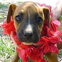 Adopt A Pet :: Audra cutie pie - Sacramento, CA
