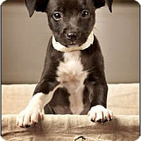 Adopt A Pet :: Piper - Owensboro, KY